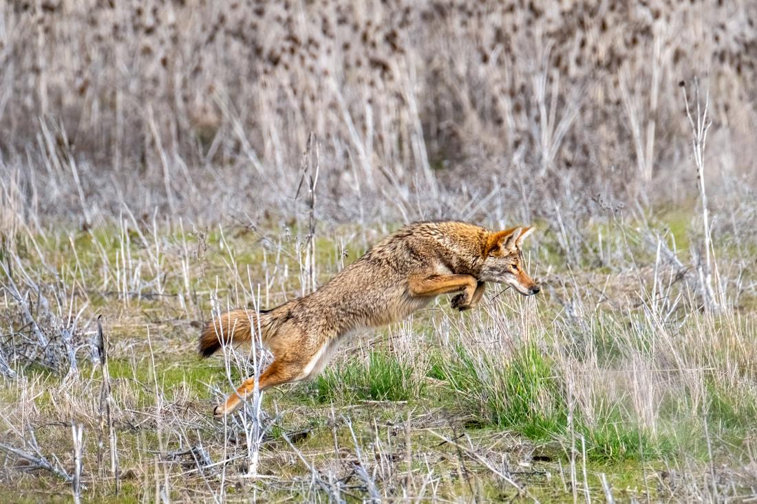 coyote-5546-50898992401-o_orig